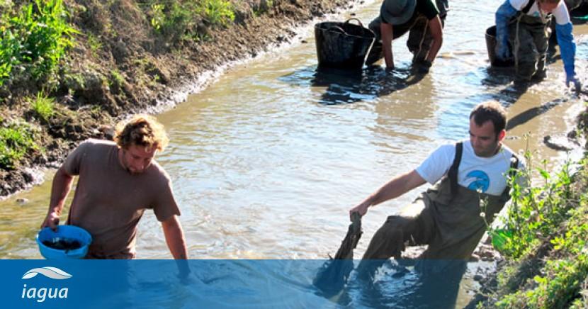 El caracol manzana, un grave riesgo para el margen derecho del Delta del Ebro