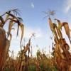 ¿El maíz está perdiendo carrera cambio climático?