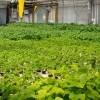 acuaponía, sistema integrado cultivo peces y hortalizas, ya es realidad Sevilla