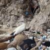 2050 prácticamente todas aves marinas tendrán plásticos estómagos