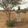 siembra acacias invierte tendencia desertificación África