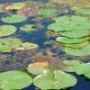 ¿Cómo reacciona cloro materia orgánica presente agua?