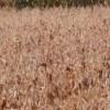 Argentina aprueba comercialización soja transgénica resistente sequía
