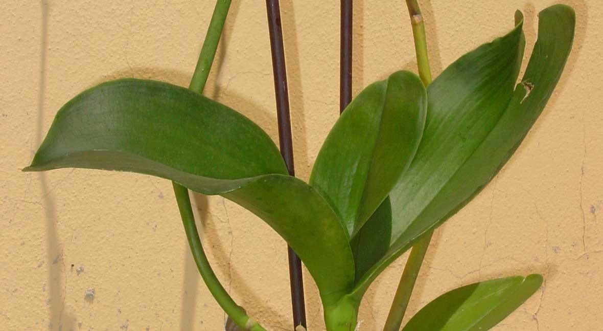 caña bambú representa 77% ventas opciones entutorar cultivos Grupo Projar