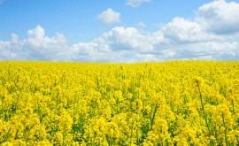 estudio indica que cambio climático podría poner riesgo cultivos colza