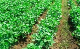 nueva variedad frijol es resistente sequía