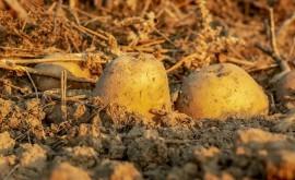 Científicos argentinos desarrollan patatas resistentes sequía y suelos salinos