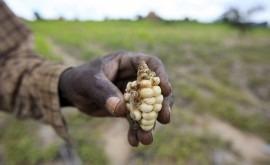 Niño tendrá efecto devastador cosechas y seguridad alimentaria África austral