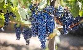 cosecha uva Comunidad Valenciana, 30% menor sequía y granizo
