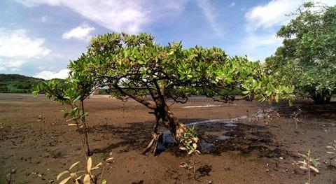 nuevo mapa muestra cantidad carbono azul que albergan manglares mundo