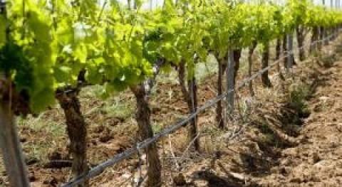 Importancia riego viñedo