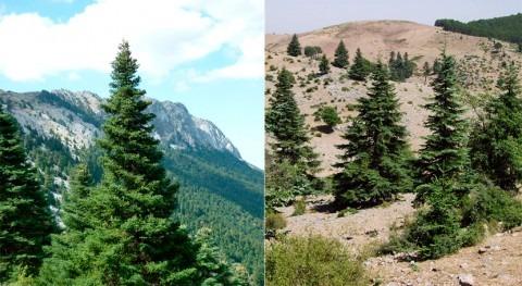sequías y cambio climático ponen peligro al abeto mediterráneo