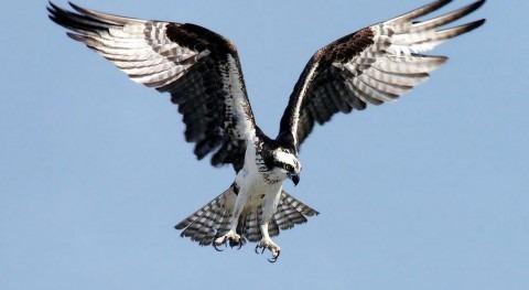 Águila pescadora (Wikipedia).