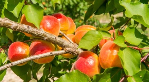 Riego Goteo Subterráneo (RGSSDI) frutales: fruta calidad menor coste productivo