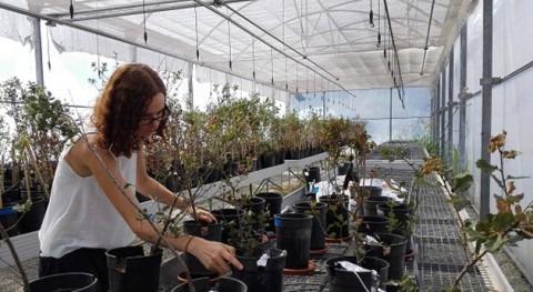 encinas sedientas pierden 21% más carbono raíces