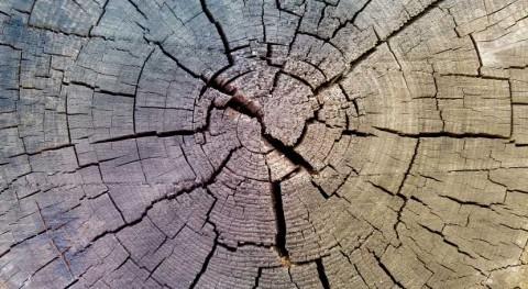anillos árboles muestran que escasez agua limita crecimiento bosques