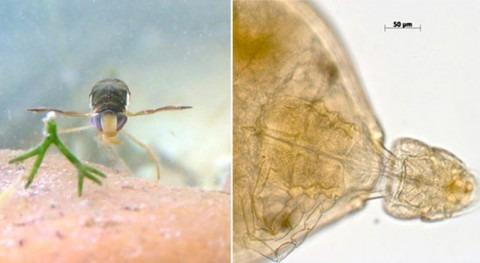 insectos acuáticos Doñana, amenazados aumento salinidad y parásitos