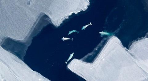 deshielo ártico altera migraciones belugas