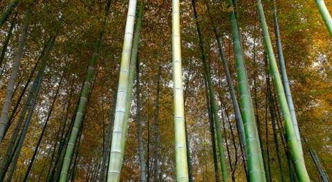 Cerca cuarta parte China podría estar cubierta bosques año 2020