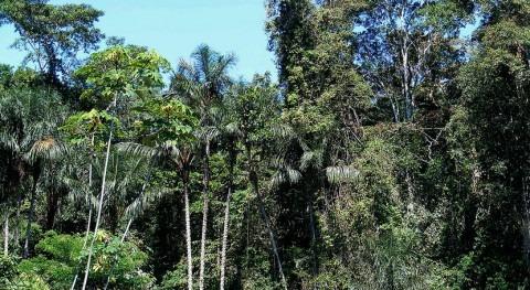 árboles más altos y viejos son más resistentes sequía bosques tropicales