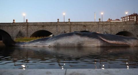 ¿Qué hace cachalote medio río Manzanares?