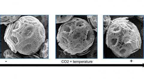 calentamiento y acidificación oceánica reducen fijación CO2 fitoplancton calcáreo