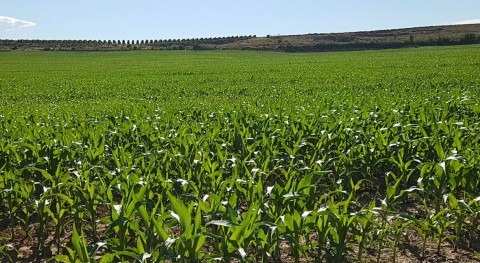 ¿Y si Canal d'Urgell dejara producir maíz?