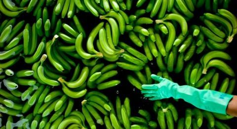 cambios humedad y temperatura alimentan enfermedad que asola bananos