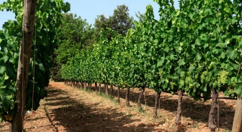 cambio climático pone alerta viticultura mediterránea