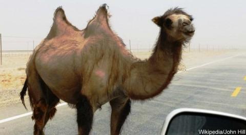 culpa es camellos