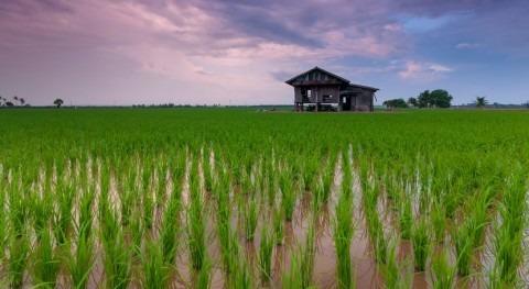 calentamiento global podría provocar pérdidas producción arroz
