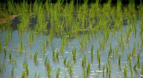 cultivo arroz Delta Ebro podría ser inviable finales siglo
