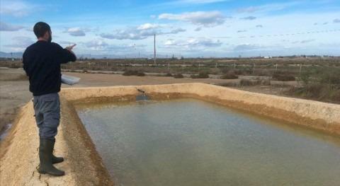 Cultivar almejas campos arroz salinizados Ebro podría evitar daños cangrejo azul