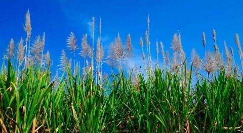 ¿Cómo conseguir caña azúcar más resistente periodos sequía?