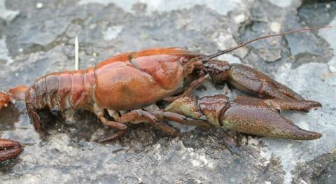 Se refuerza presencia cangrejo río autóctono Andalucía