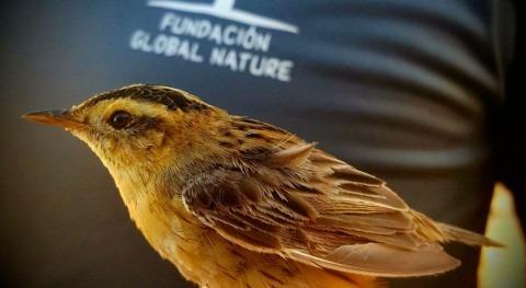 Comienza campaña anillamiento aves palustres distintos humedales C. Valenciana