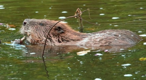 ¿Cómo ayudan castores limpiar ríos contaminados?