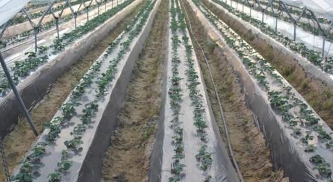 Coca-Cola financia 200.000 dólares estudio mejorar eficiencia uso agua cultivo fresa