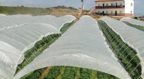 Cultivo de la fresa (wikipedia/CC)