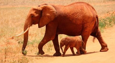 Zimbabue eleva 115 elefantes muertos septiembre causa sequía