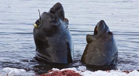 elefantes marinos monitorizan deshielo Antártida