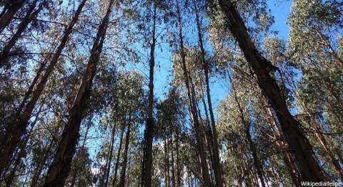 impacto bosques eucaliptos recursos hídricos