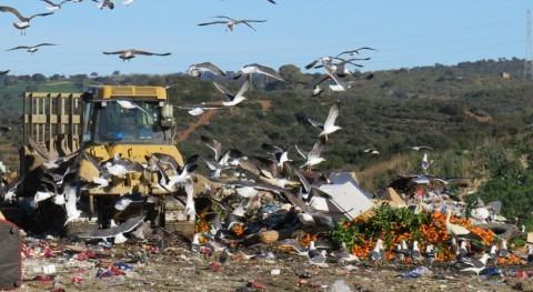 desplazamientos gaviotas podrían contribuir contaminación humedales
