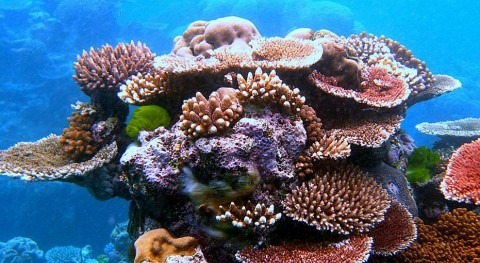 Corales en la Gran Barrera (Wikipedia/CC).