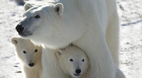 oso polar, amenazado Contaminantes Orgánicos Persistentes