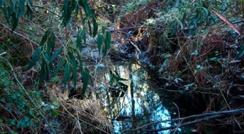 ¿Cómo afectan arroyos plantaciones eucalipto?