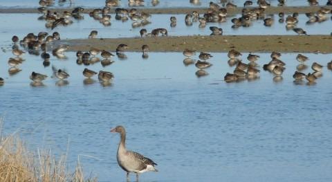 Aves migratorias en las Lagunas de Villafáfila.
