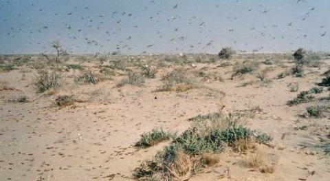 intensas lluvias África y Arabia Saudí provocan brote langosta desierto
