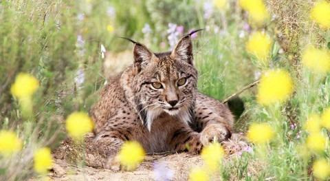 minería tierras raras pone jaque al felino más amenazado planeta