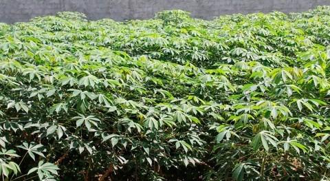 Nuevas variedades mandioca adaptadas al cambio climático, aliadas agricultura sostenible
